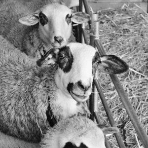 mouton carre