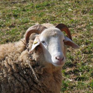 mouton oberland grison Ferme de la Touribière